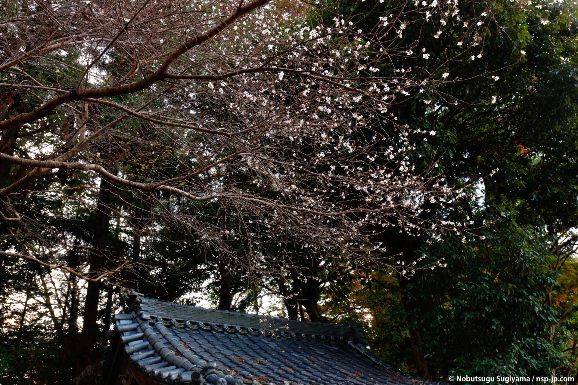 長良天神神社-寒桜 | 岐阜 故郷巡礼 by 杉山宣嗣